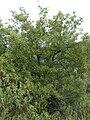 Quercus canariensis Habitus 2010-10-03 SierraMadrona.jpg