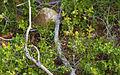 Quercus coccifera, Sète 02.jpg