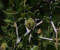 Quercus coccifera - Flickr - S. Rae.jpg