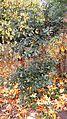 Quercus garryana (Oregon white oak) - Flickr - brewbooks (1).jpg