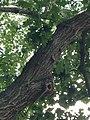 Quercus rubra (Red Oak) C34-1.jpg