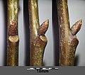 Quercus rubra sl3.jpg