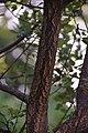 Quercus suber in Jardin botanique de la Charme 02.jpg