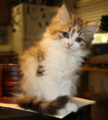 Ragamuffin kitten-GRACIE.png