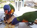 Rainbow lorikeets on Brampton Island - 2.jpg