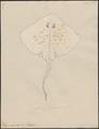 Raja clavata - 1700-1880 - Print - Iconographia Zoologica - Special Collections University of Amsterdam - UBA01 IZ14200047.tif
