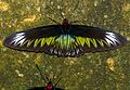Rajah Brooke's Birdwing (Trogonoptera brookiana albescens) female (8734610063).jpg