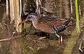 Rallus limicola -Cloisters Park, Morro Bay, California, USA-8 (1).jpg