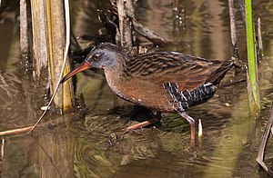 A Virginia Rail in Cloisters Park, Morro Bay, ...