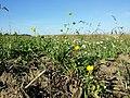 Ranunculus sardous subsp. sardous sl35.jpg