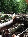 Rare Tree Snail Shell - panoramio (1).jpg