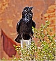 Raven, Valley of Fire, NV 5-14 (17026410428).jpg