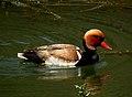 Red-crested Pochard Netta rufina by Dr. Raju Kasambe DSCN1127 (11).jpg