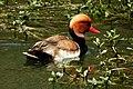 Red-crested Pochard Netta rufina by Dr. Raju Kasambe DSCN1127 (12).jpg