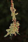 Red-headed pine sawfly larvae