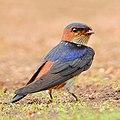 Red-rumped Swallow (Cecropis daurica) Photograph by Shantanu Kuveskar.jpg