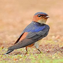 Red-rumped Swallow (Cecropis daurica) Photograph by Shantanu Kuveskar.jpg