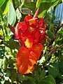 Red Canna Lily (1).jpg