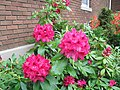 Red Rhododendron (8397951379).jpg