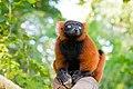 Red Ruffed Lemur (50350441266).jpg