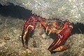 Red Swamp Craw (Procambarus clarkii) (3627194363).jpg