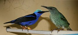 Red legged Honeycreeper male&Female.JPG