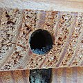 Red mason bee (Osmia bicornis) nest being sealed, Sandy, Bedfordshire (8911722201).jpg
