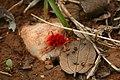 Red velvet mite Trombidiidae from kadapa Andhra Pradesh IMG 2435.jpg