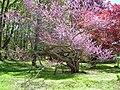 Redbud Tree at Esperanza Estate, New Hartford, CT (May 11, 2019).jpg