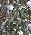 Redwing hiding in the bushes 2 (5292953105).jpg