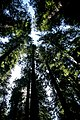Redwoods, Hendy Woods State Park, Mendocino (34079511390).jpg