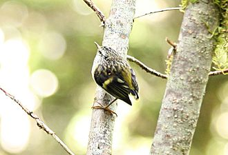 Rifleman (bird) - A female rifleman in the South Island