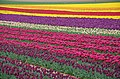 Reillanne Tulipes.jpg