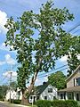 Revolutionary Sycamore, Danbury, CT - July 14, 2012.jpg