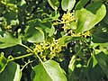 Rhamnus cathartica kz02.jpg