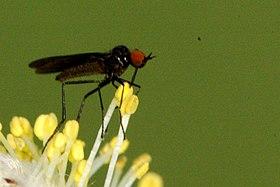 Rhamphomyia.nigripennis.jpg