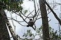 Rhipidura leucophrys (24624949126).jpg