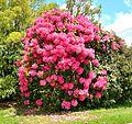 Rhododendron (31312754564).jpg