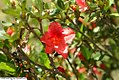 Rhododendron Carnival 2zz.jpg