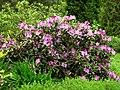 Rhododendron catawbiense 11.JPG