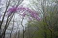 Rhododendron dilatatum 02.jpg