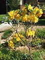 Rhododendron japonicum-wielokwiatowy.jpg
