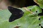 Ricaniidae 5505.jpg