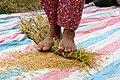 Rice harvesting, Cambodia (10717130836).jpg