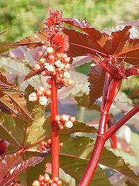200px Ricinus communis2