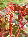 Ricinus communis2.jpg