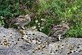 Rock Ptarmigan - Lagopus muta - Asbyrgi, Iceland 1.jpg