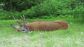 Roe deer buck killed with bow and arrow Denmark 01.png