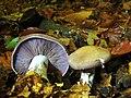 Roetelritterling Violetter (3).jpg