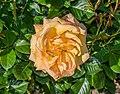 Rosa 'Amber Flush'.jpg